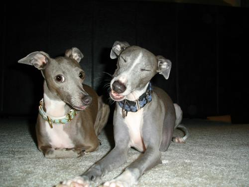 Welcome to the Mid Atlantic Italian Greyhound Nc