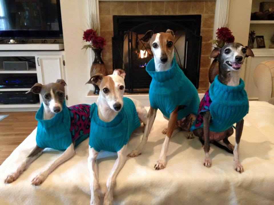 Here You Will Find Helpful Information About The Italian Greyhound Breed Adoption And Or Relinquishment Process Volunteer Opportunitieore