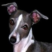 Mid Atlantic Italian Greyhound Rescue Love Igs Volunteer Foster